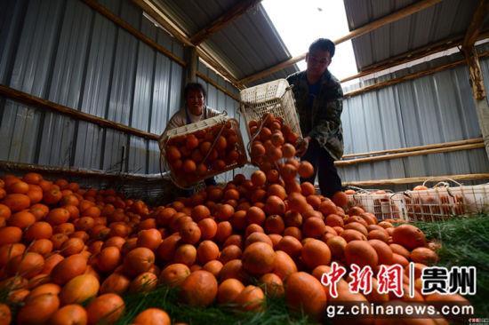 """龙庆军(左)、王兴兰(右)夫妇将采摘的脐橙倒放储藏室,多年来,这对""""脐橙夫妇""""一直是当地村民认可的产业致富""""领头雁""""。杨武魁 摄"""