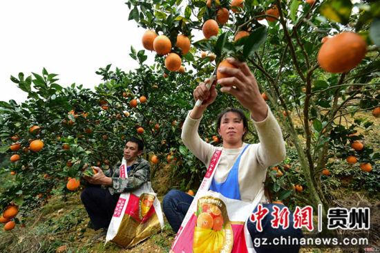 龙庆军(左)、王兴兰(右)夫妇在脐橙种植基地里采摘脐橙,近20亩的脐橙每年有5万多元的收入。杨武魁 摄