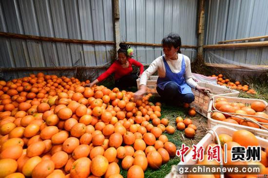 王兴兰(前)和村民在分拣脐橙,一直以来,带动更多村民共同增收致富是她最大的心愿。杨武魁 摄