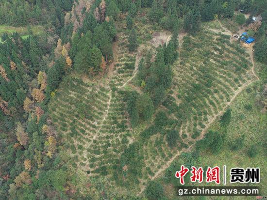 龙庆军、王兴兰夫妇的脐橙种植基地地处深山,距最近的通村公路有一公里左右,运输全靠肩挑背驮(无人机拍摄)。杨武魁 摄