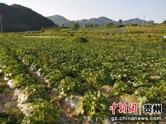 图为:宝山街道高原村千亩刺梨套种蔬菜扶贫产业基地。