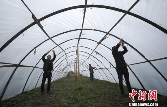 吴帮江(左)与父亲(中)、合伙人一起在整理新的种植大棚。 黄晓海 摄