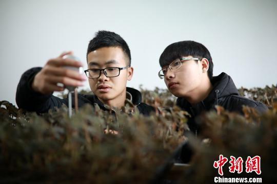 罗文明(左)与合伙人在培植室内测试培植金线莲种苗的土质含水情况。 黄晓海 摄