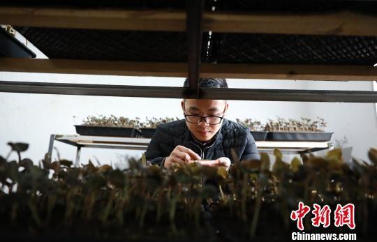 罗文明在培植室内分析培植金线莲种苗土壤的质量。 黄晓海 摄