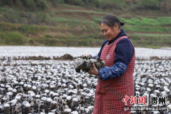 贵州思南黑木耳种植助农增收