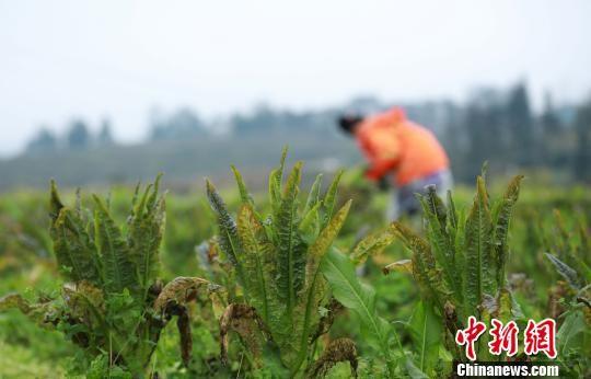 图为农户在田间管护越冬的莴笋。 黄晓海 摄