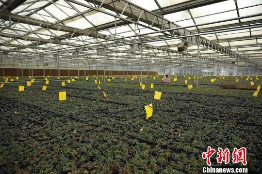 图为技术人员在查看越冬铁皮石斛幼苗生长情况。 黄晓海 摄