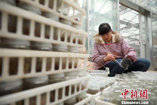 图为技术人员在清理越冬白芨幼苗。 黄晓海 摄
