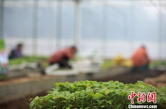 图为农户在管护勾藤幼苗。 黄晓海 摄