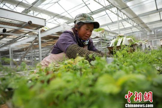 图为农户在给白芨幼苗除草。 黄晓海 摄