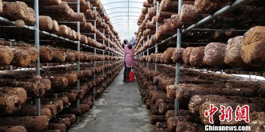 道真自治县三桥镇村民忙着在大棚采收香菇。 曾实 摄