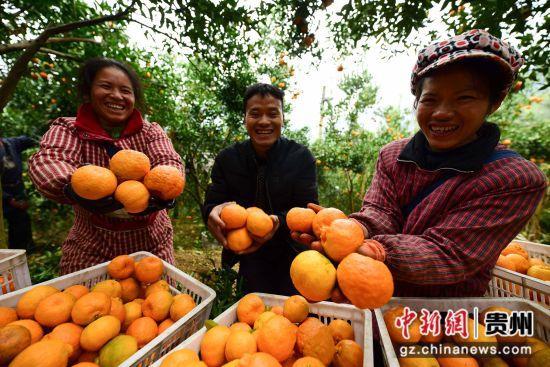 图为种植户岑忠华(中)和村民在展示刚采摘的�崭獭� 杨武魁 摄