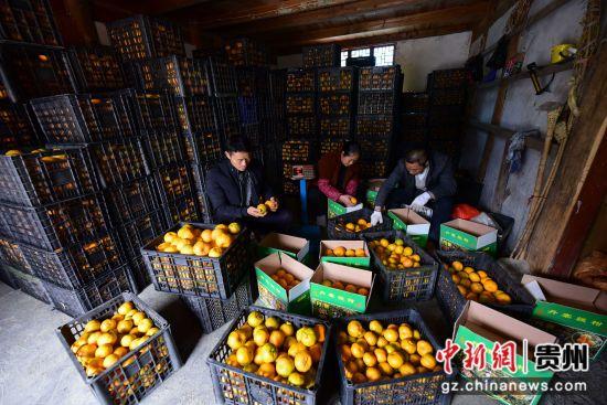 图为种植户岑忠华(左一)和村民在包装即将发售的�崭獭� 杨武魁 摄