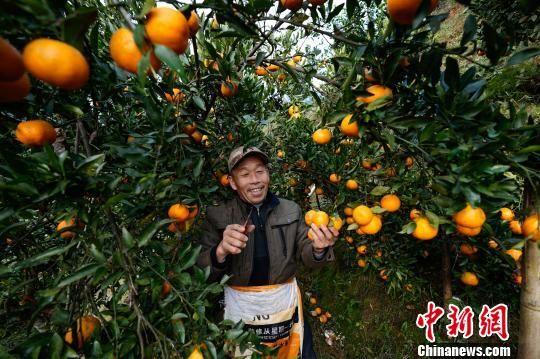 贵州榕江平江镇水溪寨果农邓文明在采摘成熟橘子,供市场所需。 贺俊怡 摄