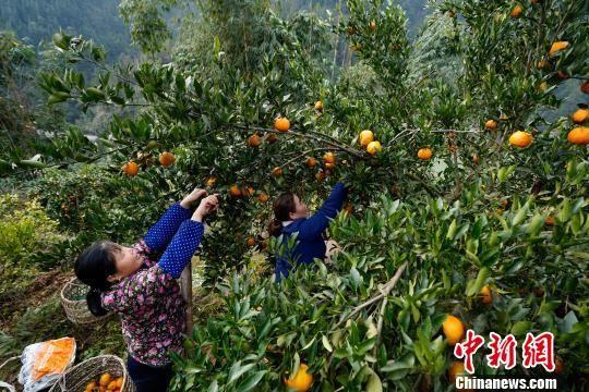 贵州榕江平江镇水溪寨果农在采摘成熟橘子,供市场所需。 贺俊怡 摄