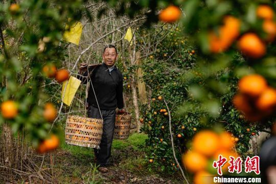 贵州榕江平江镇水溪寨果农邓文明在果园里挑橘子装车。 贺俊怡 摄