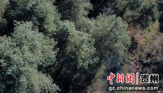 1月3日,张建、张忠、张华三兄弟在贵州省毕节市七星关区拱拢坪林场护林巡山。王纯亮 摄