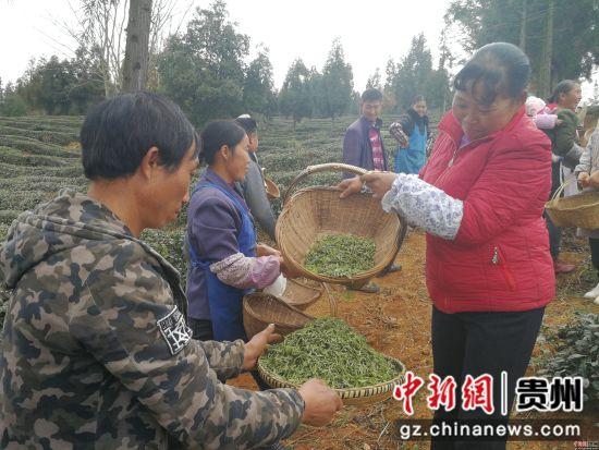 """贵州水城""""早春茶""""开采,比2018年提前一个月"""