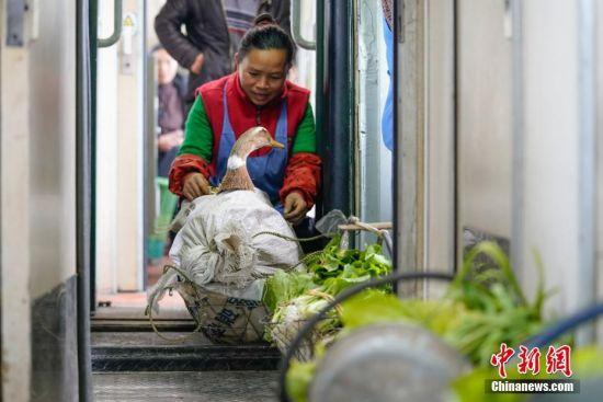 """1月17日,在开往贵阳的5639次列车上,一位少数民族妇女照管将要售卖的鸭子。往返于贵州省贵阳市与铜仁市玉屏县的5639/5640次普速列车,全程342公里,行驶7个多小时,是人们常提到的""""绿皮火车"""",从1975年全线通车至今,这列火车已开行44年。在过去22年间,从未提高票价,区间内最低票价2元。列车穿行于贵州山区,沿线16个站连通很多少数民族村寨,目前仍是沿线民众赶集买卖,进城办事的重要交通工具。2019年春运期间,贵阳客运段5639/5640次、5629/5630次、5645/5646次列车不停运,方便沿线民众出行。中新社记者 贺俊怡 摄"""
