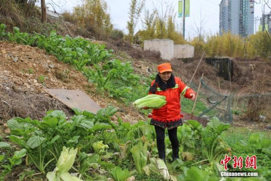 芦忠华和胡孟君夫妻是贵州省铜仁市碧江区环卫局的环卫工人,夫妻两人每天要和队友负责面积约350万平方米、长约12公里的锦江流域的垃圾打捞工作,从2006年始至今已坚守13年。2018年,芦忠华和胡孟君被评为贵州省道德模范。图为胡孟君在管护休息点种植的蔬菜。瞿宏伦 摄