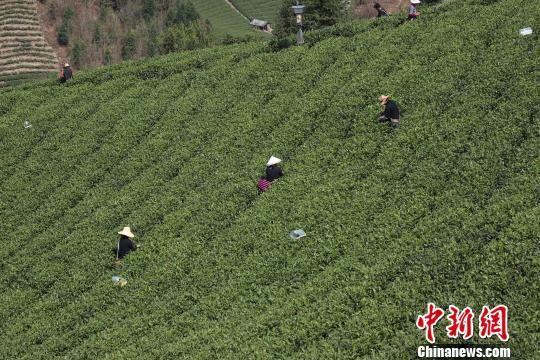 贵州贵定县村民采茶忙。 瞿宏伦 摄