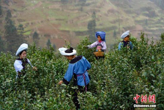 2月20日,贵州贞丰长田镇七山茶场,两位布依族妇女展示刚采摘的春茶。中新社记者 贺俊怡 摄