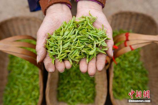 一位布依族妇女展示刚采摘的春茶。中新社记者 贺俊怡 摄