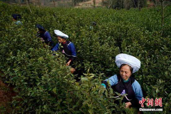 贵州贞丰长田镇七山茶场,布依族妇女在茶园采摘春茶。中新社记者 贺俊怡 摄