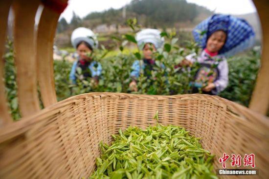 当日,阳光明媚,贵州省黔西南布依族苗族自治州贞丰县长田镇万亩茶园迎来采摘季,当地茶农忙于采摘、制作春茶供市场所需,茶山一片繁忙景象。中新社记者 贺俊怡 摄