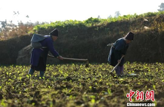 2月21日,在贵州省丹寨县扬武镇干河村蔬菜种植基地,苗族村民在给蔬菜苗松土。 黄晓海 摄