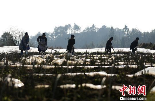2月21日,在贵州省丹寨县扬武镇干河村中药材种植基地,苗族村民在给苗床松土。 黄晓海 摄