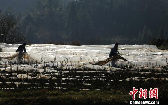 2月21日,在贵州省丹寨县扬武镇干河村中药材种植基地,苗族村民在掀开农膜给苗床透气。 黄晓海 摄