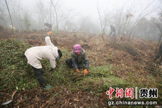 2月26日,在贵州省毕节市大方县慕俄格办事处关井村乌蒙菌业食用菌种植基地,村民们正在种植食用菌。 罗大富 摄