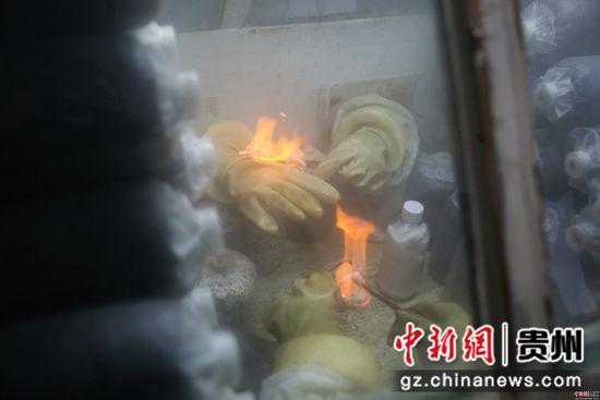 2月26日,在贵州省毕节市大方县慕俄格办事处关井村乌蒙菌业食用菌生产基地,村民们正在对菌袋进行接种操作。 罗大富 摄