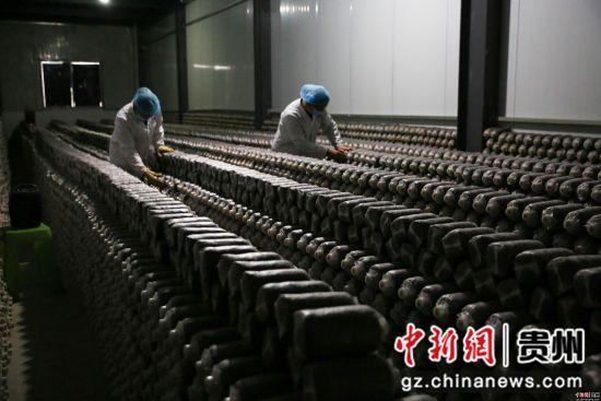 2月26日,在贵州省毕节市大方县慕俄格办事处关井村乌蒙菌业食用菌生产基地,村民们正在查看菌种培养情况。 罗大富 摄
