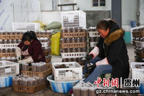 2月26日,在贵州省毕节市大方县慕俄格办事处关井村乌蒙菌业食用菌生产基地,村民们正在包装菌袋。 罗大富 摄