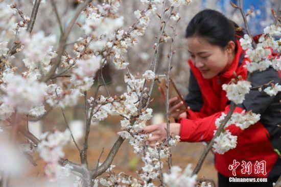 2月28日,游客用手机拍摄樱桃花。近日,贵州省毕节市纳雍县的万亩樱桃花竞相绽放,吸引了不少市民和游客前去游玩观赏。万亩樱桃花由纳雍县厍东关乡和维新镇两大樱桃片区组成,主要种植玛瑙红樱桃,面积达到了4万余亩。中新社记者 瞿宏伦 摄