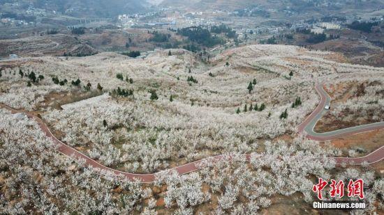 2月28日,航拍万亩樱桃花竞相绽放。近日,贵州省毕节市纳雍县的万亩樱桃花竞相绽放,吸引了不少市民和游客前去游玩观赏。万亩樱桃花由纳雍县厍东关乡和维新镇两大樱桃片区组成,主要种植玛瑙红樱桃,面积达到了4万余亩。中新社记者 瞿宏伦 摄