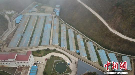 航拍生态糯谷猪养殖场。 瞿宏伦 摄