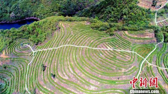 航拍高山生态有机茶园。 张晓勇 摄