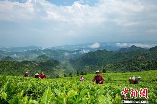 村民在采摘茶叶。 杨云 摄