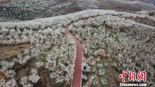 贵州省毕节市纳雍县的万亩樱桃花竞相绽放。瞿宏伦 摄。