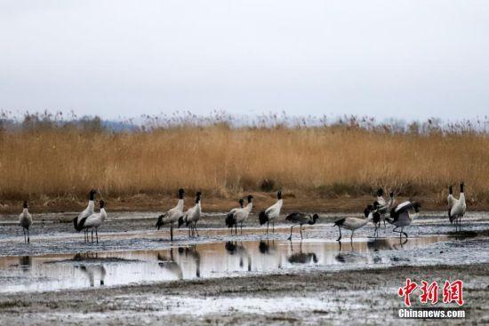 3月9日,贵州草海保护区内的黑颈鹤。随着天气逐渐变暖,在贵州草海国家级自然保护区越冬的黑颈鹤陆续北迁。草海位于贵州省威宁县境内,是黑颈鹤越冬的主要栖息地之一,其在每年10月中旬到达草海越冬,3月中下旬迁到繁殖地。黑颈鹤是中国一级保护动物,是世界上唯一在高原生长、繁殖的鹤类。中新社记者 瞿宏伦 摄
