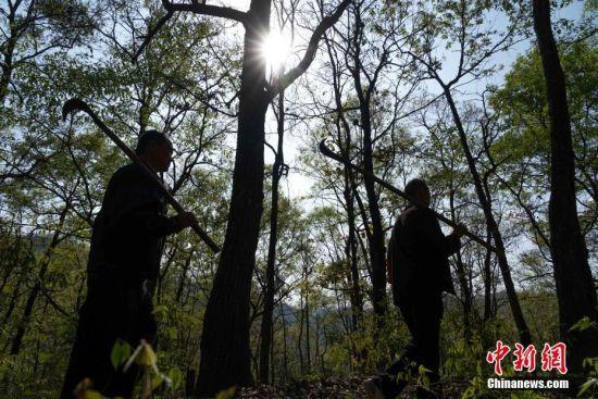 """3月10日,在贵州望谟纳上林场,护林员王永仁与同伴冉隆扩在巡山。44岁的护林员王永仁是贵州省望谟县红水河国有林场纳上片区护林员,1995年,王永仁一家来到望谟纳上林场,用4年的时间义务为林场种植184.5亩杉树,并对周边的天然林地进行保护。24年来与树为伴,坚持植绿、爱绿、护绿,纳上林场12000亩林场在他与同伴的守护下,树木得到妥善保护,森林火灾等人为隐患大大减少。2018年7月,贵州省发改委、林业厅、环保厅和共青团贵州省委对全省在建设国家生态文明试验区、推进大生态战略行动中做出突出贡献的10名护林员进行表彰,王永仁被授予""""十大生态护林员""""荣誉称号。中新社记者 贺俊怡 摄"""