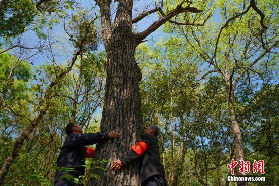 """3月10日,在贵州望谟纳上林场,护林员王永仁(左)与同伴冉隆扩双手抱着一棵他们呵护成材的大树。44岁的护林员王永仁是贵州省望谟县红水河国有林场纳上片区护林员,1995年,王永仁一家来到望谟纳上林场,用4年的时间义务为林场种植184.5亩杉树,并对周边的天然林地进行保护。24年来与树为伴,坚持植绿、爱绿、护绿,纳上林场12000亩林场在他与同伴的守护下,树木得到妥善保护,森林火灾等人为隐患大大减少。2018年7月,贵州省发改委、林业厅、环保厅和共青团贵州省委对全省在建设国家生态文明试验区、推进大生态战略行动中做出突出贡献的10名护林员进行表彰,王永仁被授予""""十大生态护林员""""荣誉称号。中新社记者 贺俊怡 摄"""