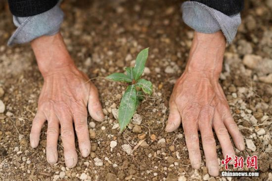 """3月11日,王永仁为金丝楠木树苗进行培土。44岁的护林员王永仁是贵州省望谟县红水河国有林场纳上片区护林员,1995年,王永仁一家来到望谟纳上林场,用4年的时间义务为林场种植184.5亩杉树,并对周边的天然林地进行保护。24年来与树为伴,坚持植绿、爱绿、护绿,纳上林场12000亩林场在他与同伴的守护下,树木得到妥善保护,森林火灾等人为隐患大大减少。2018年7月,贵州省发改委、林业厅、环保厅和共青团贵州省委对全省在建设国家生态文明试验区、推进大生态战略行动中做出突出贡献的10名护林员进行表彰,王永仁被授予""""十大生态护林员""""荣誉称号。中新社记者 贺俊怡 摄"""
