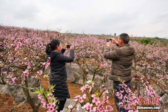 3月14日,游客在贵州兴义普梯万亩桃园里拍摄盛开的桃花。近日,贵州省兴义市乌沙镇普梯村万亩桃园盛开,盛开的桃花吸引游人前来赏花。进入三月,贵州各地迎来花期,民众踏春赏花,享受春光。中新社记者 贺俊怡 摄
