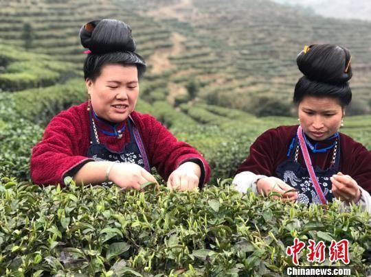 丹寨少数民族妇女采摘茶叶。 周燕玲 摄
