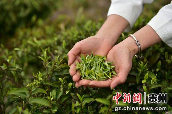 3月17日,在贵州省黔东南苗族侗族自治州丹寨县龙泉镇羊甲茶园,采茶工人在展示刚采摘的春茶。杨武魁 摄