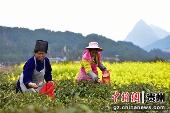 3月17日,在贵州省黔东南苗族侗族自治州丹寨县龙泉镇羊甲茶园,采茶工人在采摘春茶。杨武魁 摄